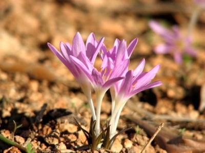 انواع النباتات البرية المميزة في فلسطين مع الصور 2
