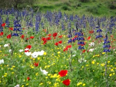 انواع النباتات البرية المميزة في فلسطين مع الصور 6