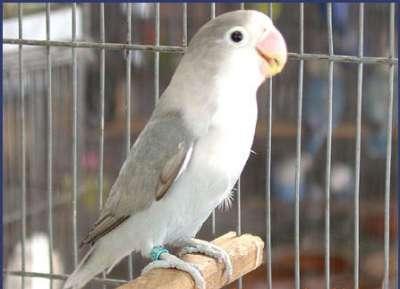 مجموعة الصور والمعلومات لطيور الحب