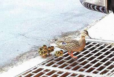 شاهد صور البطة التي أحزنت العالم بأكملة .. وكيف تم أنقاذها  المصدر : http://100fm6.co