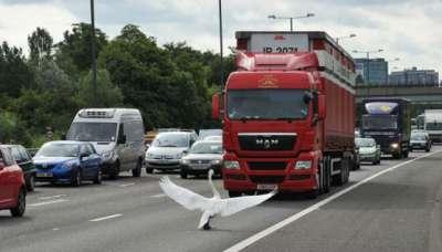 طير الاوز يعطل  حركة السير في لندن 3909762629.jpg