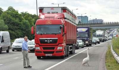 طير الاوز يعطل  حركة السير في لندن 3909762630.jpg