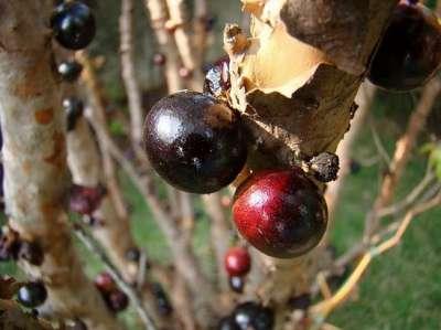 شجرة العنب البرازيلية واحدة من أغرب الأشجار في طريقة الإثمار 3909766477.jpg
