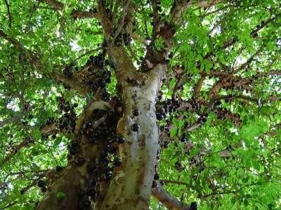 شجرة العنب البرازيلية واحدة من أغرب الأشجار في طريقة الإثمار 3909766480.jpg