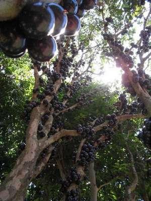 شجرة العنب البرازيلي