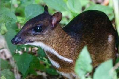 الفأر الغزال..حيوان غريب بالصور 3909772416.jpg