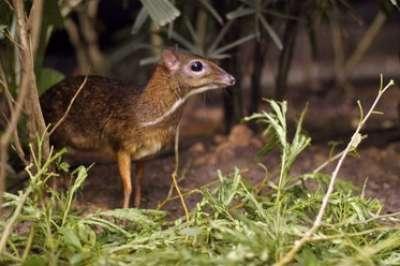 الفأر الغزال..حيوان غريب بالصور 3909772417.jpg