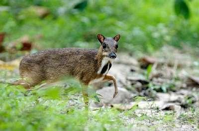 الفأر الغزال..حيوان غريب بالصور