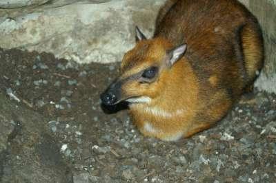 الفأر الغزال..حيوان غريب بالصور 3909772419.jpg