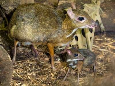 الفأر الغزال..حيوان غريب بالصور 3909772420.jpg