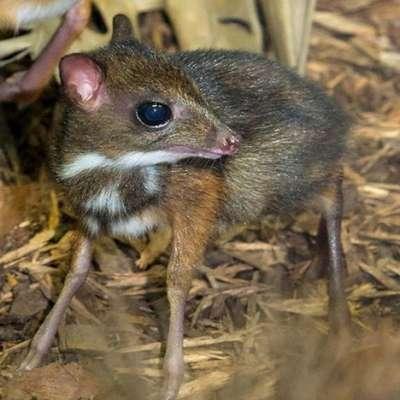 الفأر الغزال..حيوان غريب بالصور 3909772421.jpg