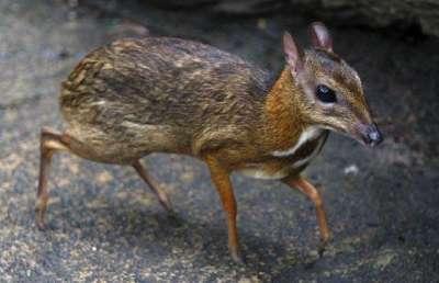 الفأر الغزال..حيوان غريب بالصور 3909772422.jpg