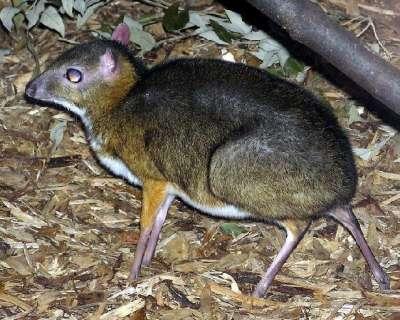 الفأر الغزال..حيوان غريب بالصور 3909772423.jpg