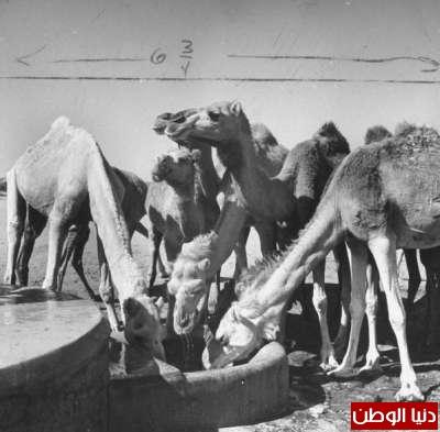 بصور رونق السعودية 1942م 3909773832.jpg