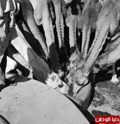 بصور رونق السعودية 1942م 3909773846.jpg