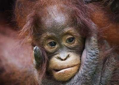 بالصور أنثى القرد وطفلها.. أمومة