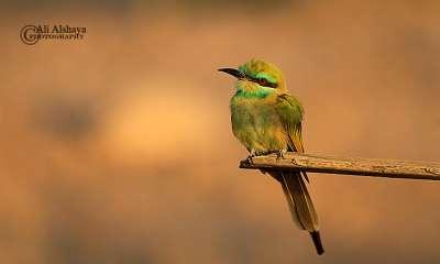 طائر الوروار