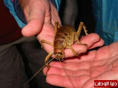 أكبر حشرات في العالم