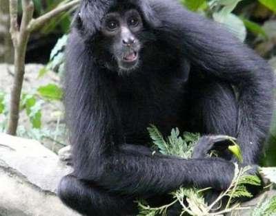 بالصور القرد العنكبوت