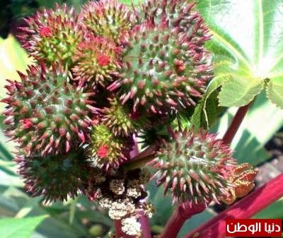 عشرة نباتات قاتلة وبالصور 3909785650