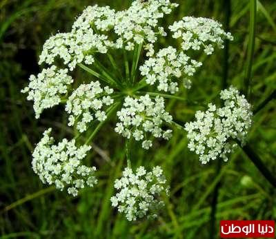 عشرة نباتات قاتلة وبالصور 3909785656