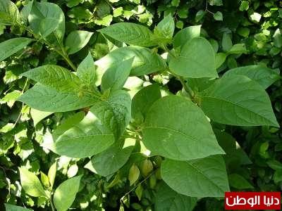 عشرة نباتات قاتلة وبالصور 3909785657