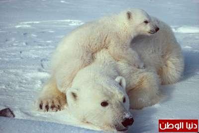 حيوانات مُهددة بالأنقراض بالصور 3909785970.jpg