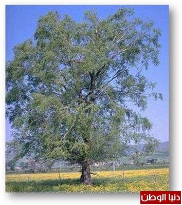 الشجرة التي يصنع منها الاسبرين 3909789506.jpg