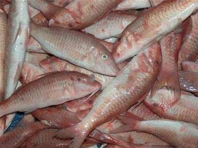 أنواع الأسماك بالصور 3909790659.jpg