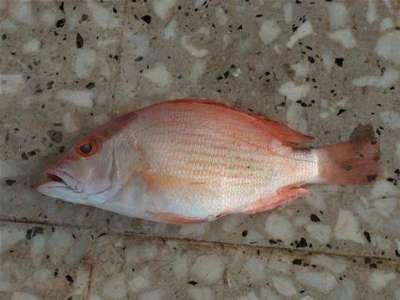 أنواع الأسماك بالصور 3909790660.jpg