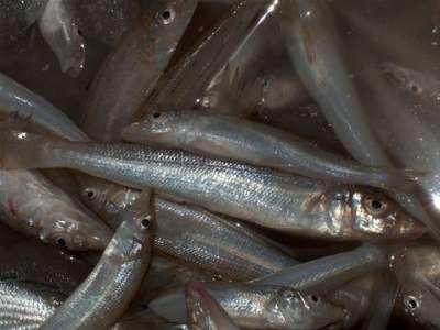 أنواع الأسماك بالصور 3909790661.jpg
