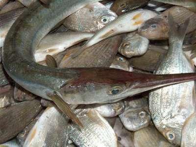 أنواع الأسماك بالصور 3909790663.jpg