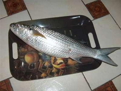 أنواع الأسماك بالصور 3909790665.jpg