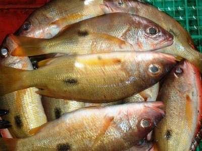 أنواع الأسماك بالصور 3909790675.jpg