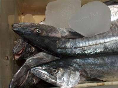 أنواع الأسماك بالصور 3909790678.jpg