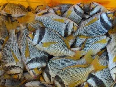 أنواع الأسماك بالصور 3909790680.jpg