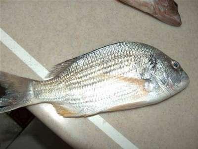 أنواع الأسماك بالصور 3909790682.jpg
