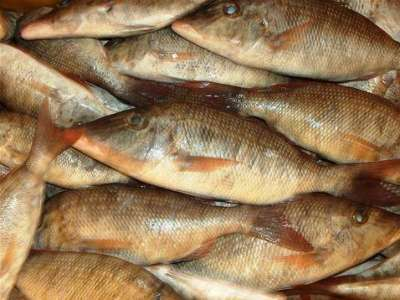 أنواع الأسماك بالصور 3909790684.jpg