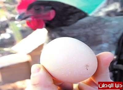 الدجاجة المعجزة تبيض بيضاً يتنبأ 3909790885.jpg