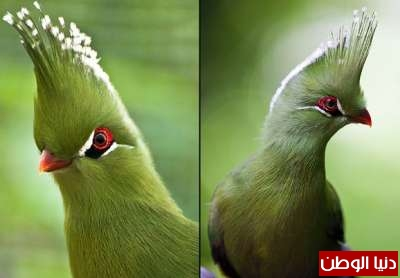 "طائر مدهش يمتلك ""على ما يبدو"" مصفف شعر خاص"