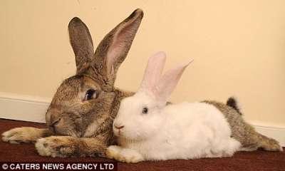 أكبر أرنب فى العالم