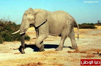 الفيل: حياته وانواعة