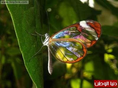 أغرب الفراشات في العالم ...