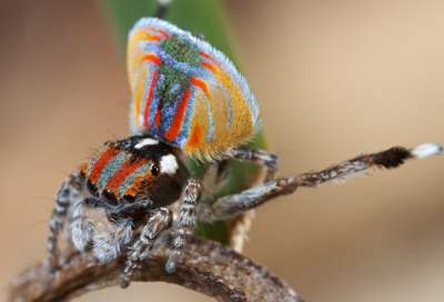 أنواع عناكب الطاووس