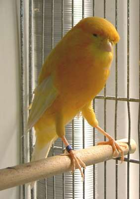 أنواع عصافير  الكناري