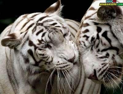 صور توأم الحيوانات 3909811963.jpg