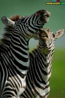 صور توأم الحيوانات 3909811974.jpg