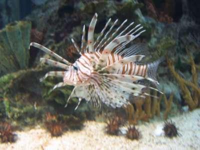 سمكة ديك البحر 3909812566.jpg