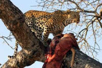 النمر الأناضولى ... وتهديدات بالانقراض 3909825016.jpg