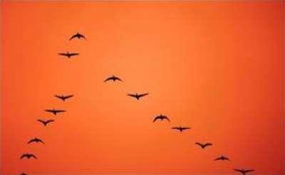 لماذا تهاجر الطيور على شكل حرف v 3909829717.jpg
